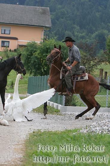 Slika   Labodja družina nad konje (IMG 1264)